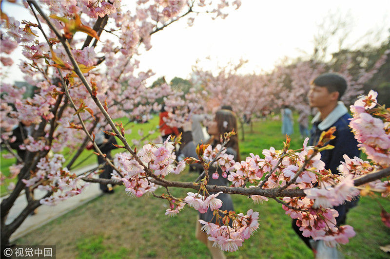 春天来了看武大樱花:武汉大学早樱娇艳绽放